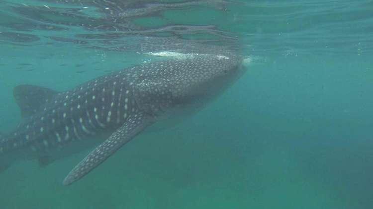 Filipinler Köpekbalığı Dalışı