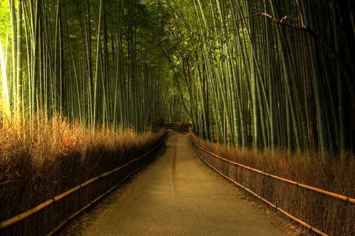 japonya bambu ormanı2
