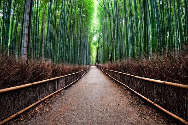 japonya bambu ormanı3