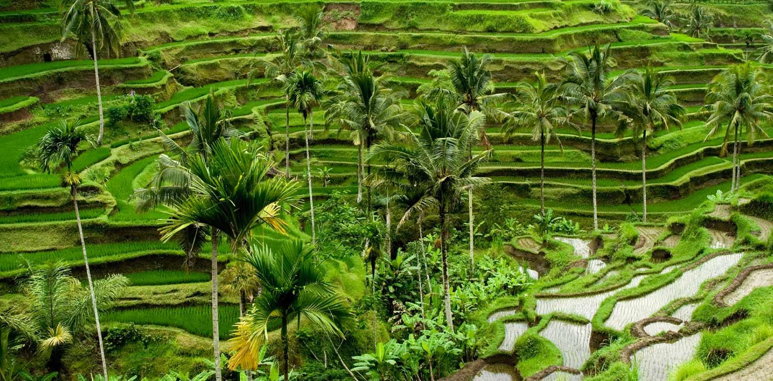 tegalalang pirinç tarlası
