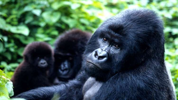 Ruanda Uganda Dağ Gorilleri Turu